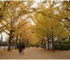 20121123みごとなイチョウ並木