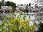 20150408井の頭公園花見307