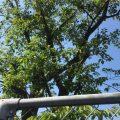 津苑会 桜の木 寄贈